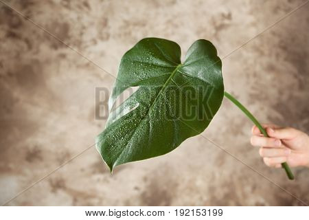 Female hand with green Monstera leaf on color background