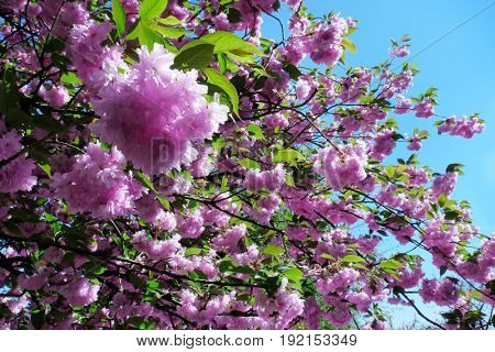 Branch of blossoming pink sakura in sunny day, close up