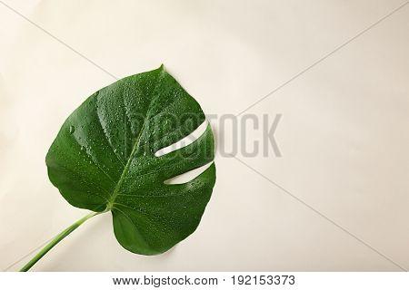 Green Monstera leaf on light background