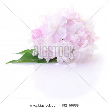 Blooming pink lilac flower isolated on white background.