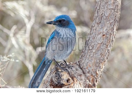 Western Scrub Jay Blue Bird on Branch with light background