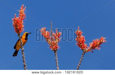 Ocotillo flowers and branches with yellow and black Oriole Bird
