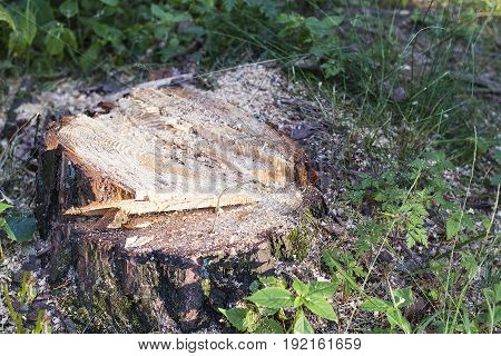 Large tree stump in summer forest. Foto