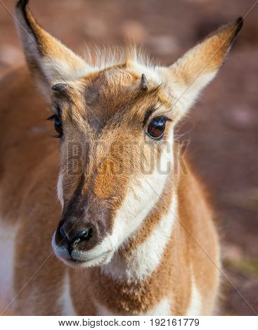 Pronghorn Animal white and brown fur Close Up for portrait