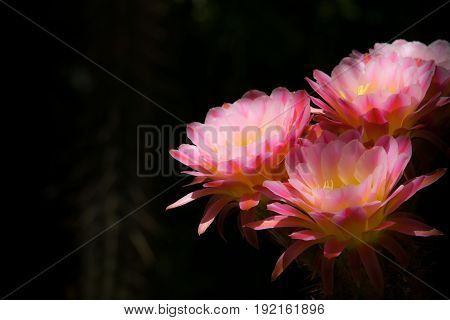 Colorful Plants Torch cactus with Pink and Yellow Flowers