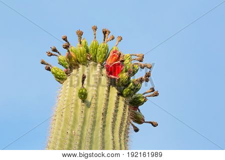 Saguaro crest with white and yellow flowers.