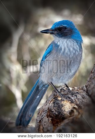 Western Scrub Jay Bird Blue color on Branch