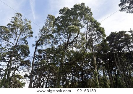 View of the tall trees in the Sintra forest near Lisbon Portugal