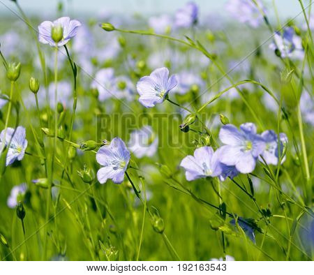 blue flowers of flax in a large field