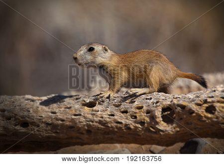 Juvenile Black-tailed Prairie Dog on Cholla Skeleton