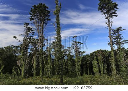 View of the centenary old pine trees in the Sintra forest near Lisbon Portugal