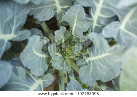Young plant of broccoli. Guadiana River Meadow Extremadura Spain