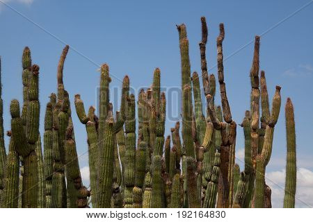 Organ Pipe Cactus Stand with Blue Sky