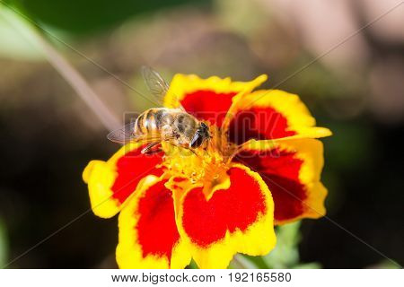 A fluffy hornet conquering bright flower close-up