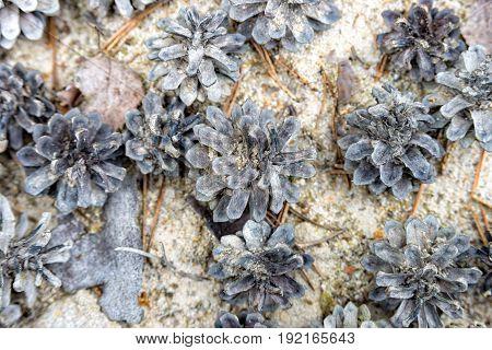 Pine cones lying on the sand in thuringia saalfeld