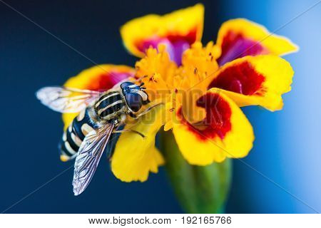 Wasp. Large wasp. Dangerous fly. Striped fly