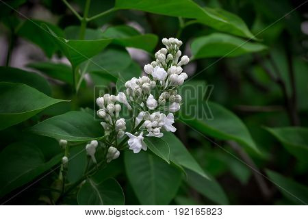 White Lilac Against The Background Of A Green Leaf
