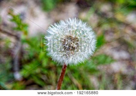 Small dandelion flower in thuringia near saalfeld