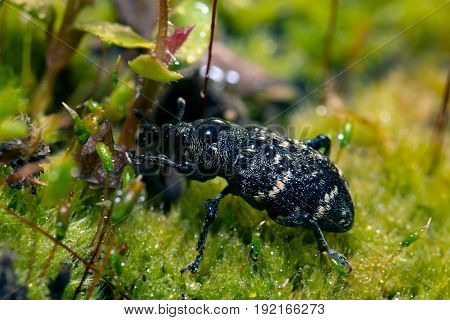 Weevil closeup with great eyes Green moss