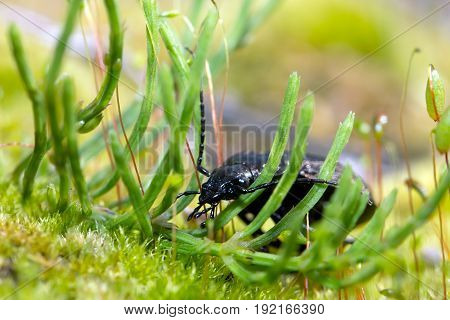 Beetle ground beetle on nature Green moss macro