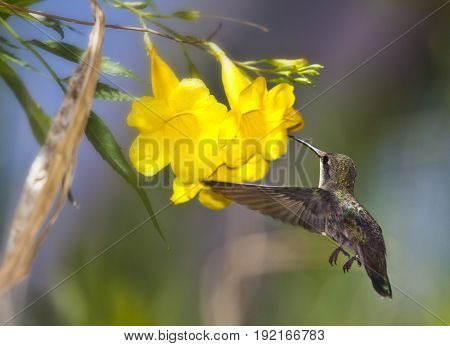 Hummingbird on Branch with Blue and Green Background