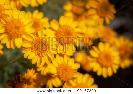 Yellow Wild flowers in the Sonoran Desert Close Up