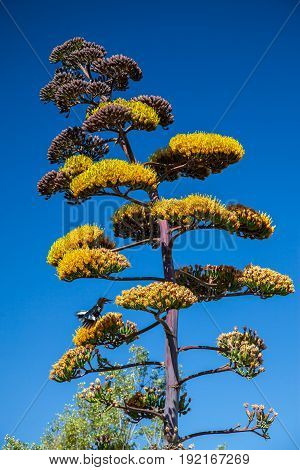 Agave Inflorescence Stalk with Yellow Flowers and blue sky