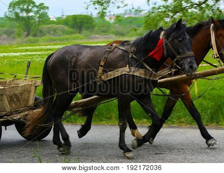 A couple of horses harnessed in a cart on a country road