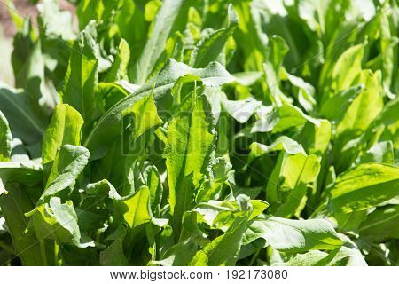Sorrel in the garden in nature . A photo
