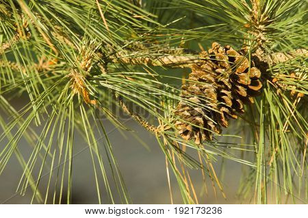 Pine Cone on Tree in Arkansas with Pine Needles