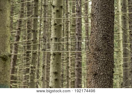 Trunk of spruce (picea abies) in a summer forest against a background of blurry trees.