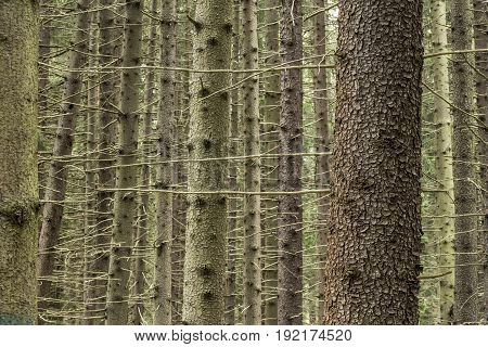 Trunks of spruce (picea abies) in the summer forest.