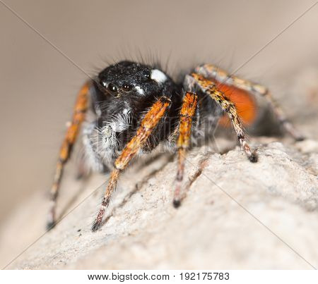Portrait of red spider jumper . A photo
