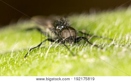 black fly on a green leaf. close-up