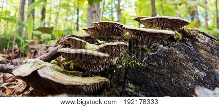 Detailed forest mushrooms on an old piece of wood. Quebec, Canada.