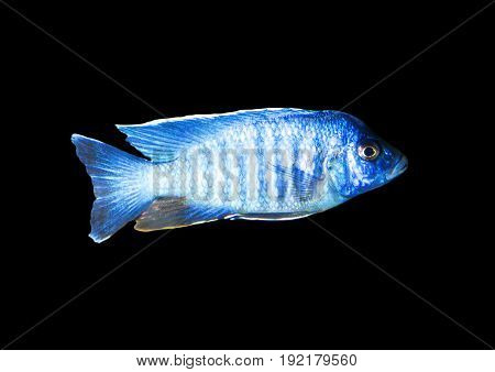 blue fish on a black background . A photo