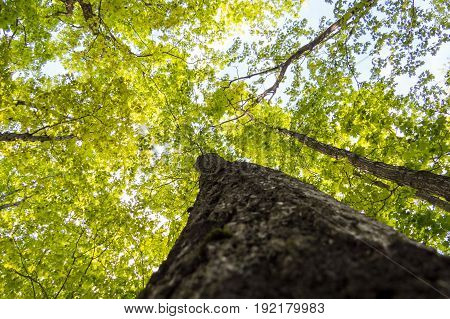 Vibrant spring trees with green leaves from below. Quebec, Canada.