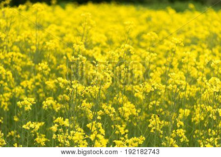 View of Canola field during full bloom in Takikawa, Hokkaido Prefecture, Japan
