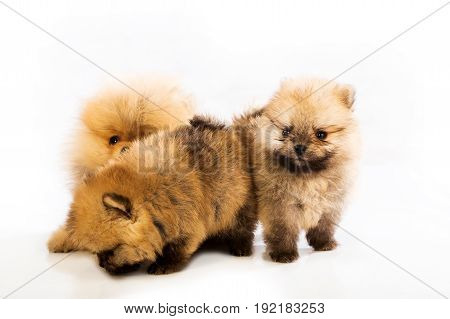 pomeranian puppy the age of 1-2 month isolated on white