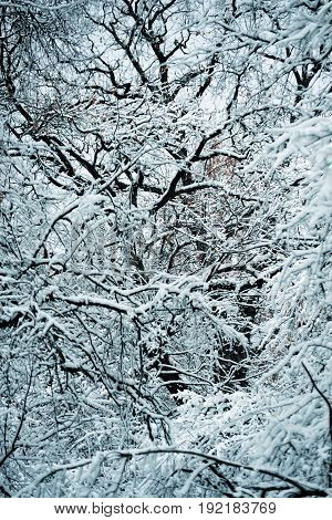 Snow-covered trees plants forest in winter filter, effect. Natural winter Christmas New Year background. Woodland snow under.