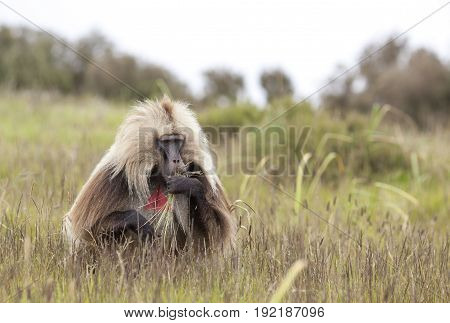 Gelada baboon in Simien mountains in Ethiopia