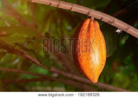 Yellow color cacao pod close-up hanging on tree branch