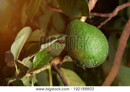 Fresh green avocado fruit wit dew hanging on tree close-up