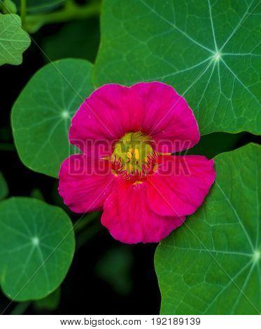 nasturtium . Nasturtium edible flower. Nasturtium flowers