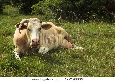 the one-horned cow in the field summer