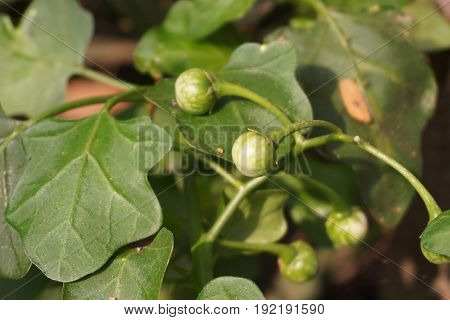 fresh green Solanum trilobatum fruit in nature garden