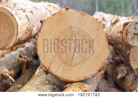 Cut pine. Logging. Annual rings on the cut pine. Logs saw. Sawmill. Cut pine. Logging. Wall log wood