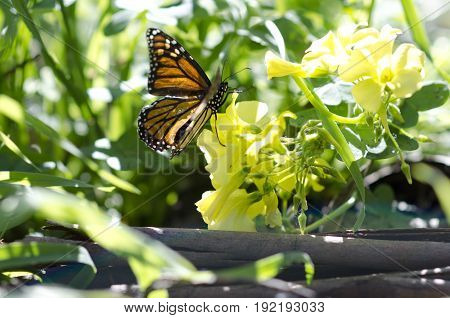 Close up of beautiful monarch butterfly landing on a bunch of small yellow flowers.