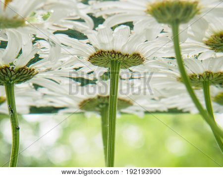 White field daisies floating in the water. Photo chamomile flowers on the bottom, underwater, closeup with blurred background and shallow depth of field. Environmental background.