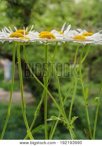 White field daisies floating in the water. Photo chamomile flowers with stems in the aquarium close up with blurred background and shallow depth of field. Environmental background.